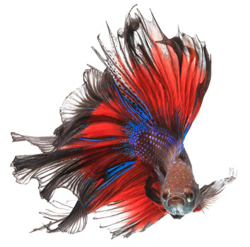 How to care for a betta fish the ultimate guide for Can betta fish live with other fish