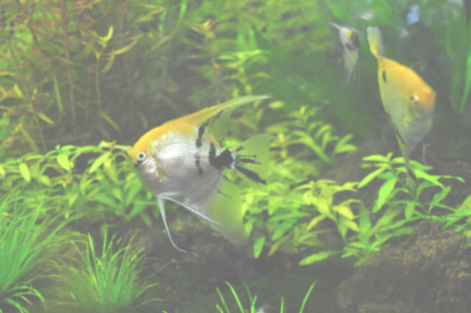 Cloudy aquarium water fish tank club for Why is my fish tank cloudy