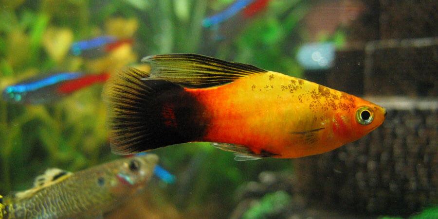 Freshwater beginner fish