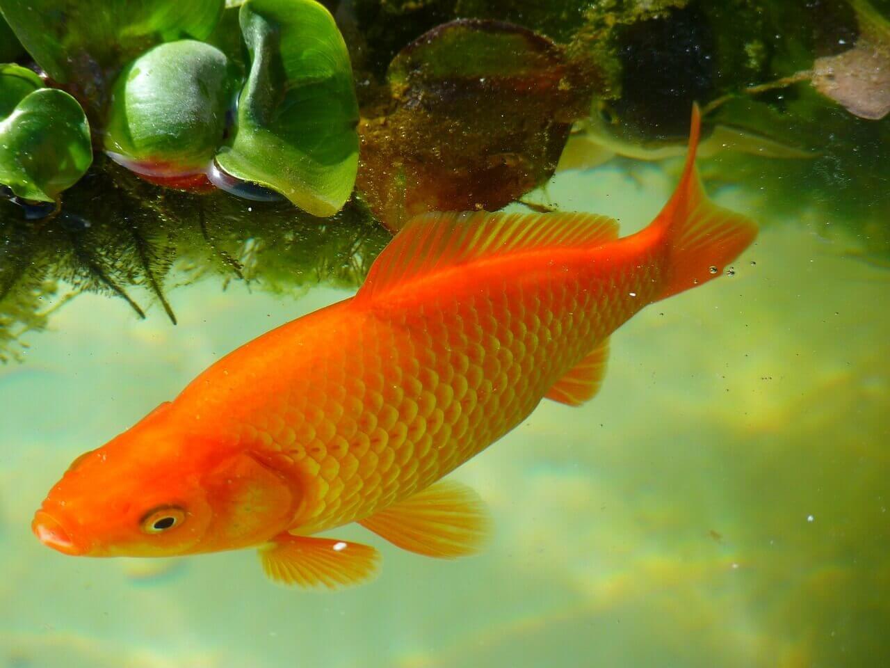 Pond Algae Eater